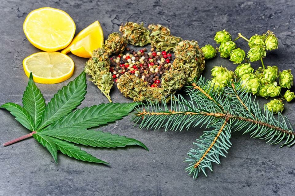 Cannabis bud and leaf with hops, pepper, lemon and fir needles, all plants that have terpenes, volatile organic compounds found in many plants including cannabis, have been shown to have antiviral properties in many scientific studies.